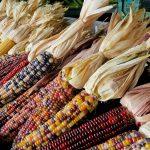 Maïs décoratif